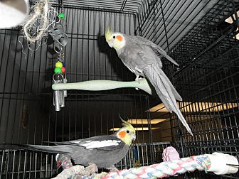 Cockatiel for adoption in Neenah, Wisconsin - Alex and Felix