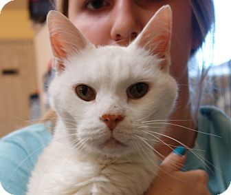 Domestic Shorthair Cat for adoption in Greenfield, Indiana - Xavier