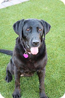 Labrador Retriever Dog for adoption in Litchfield Park, Arizona - Betty