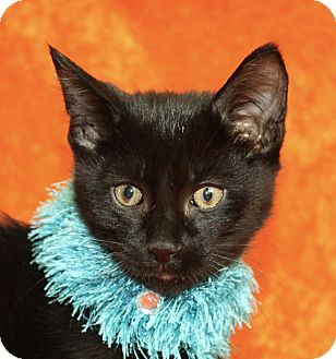 Domestic Shorthair Kitten for adoption in Jackson, Michigan - Mike