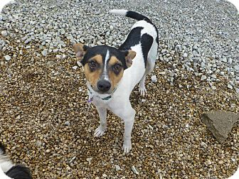 Rat Terrier Mix Dog for adoption in Wyanet, Illinois - Sid