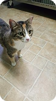 Calico Cat for adoption in Cody, Wyoming - Pumpkin