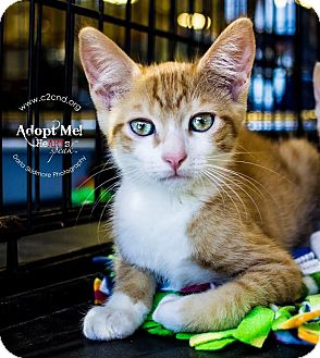 Domestic Shorthair Kitten for adoption in Charlotte, North Carolina - A..  Bennett