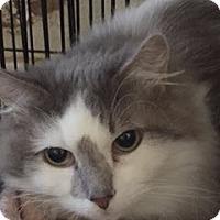 Adopt A Pet :: Cora - Southlake, TX