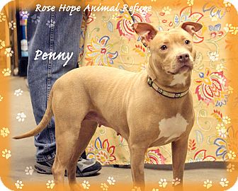 Pit Bull Terrier Dog for adoption in Waterbury, Connecticut - Penny