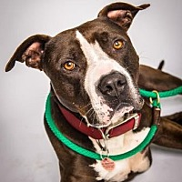 American Staffordshire Terrier Mix Dog for adoption in Santa Paula, California - Drake