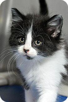 Domestic Longhair Kitten for adoption in Fort Leavenworth, Kansas - Thunder