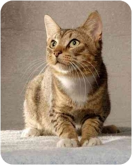 Domestic Shorthair Cat for adoption in New York, New York - Huxter