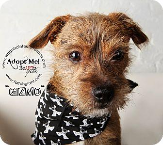 Border Terrier/Terrier (Unknown Type, Medium) Mix Dog for adoption in Omaha, Nebraska - Gizmo-adoption pending