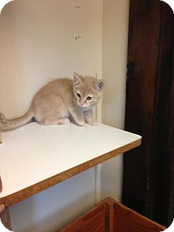 Domestic Shorthair Kitten for adoption in Lancaster, Massachusetts - Harvey