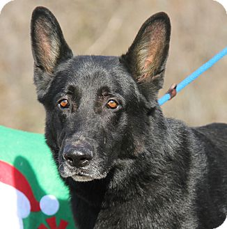 German Shepherd Dog Mix Dog for adoption in Marietta, Ohio - Gabe (Neutered)