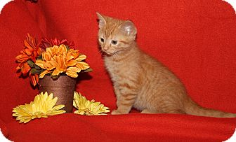Domestic Shorthair Kitten for adoption in Marietta, Ohio - Swagg (Spayed)