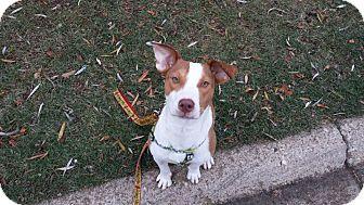 Beagle/Terrier (Unknown Type, Medium) Mix Puppy for adoption in Hainesville, Illinois - Lilia