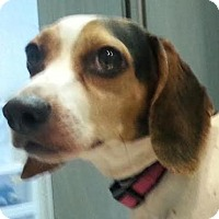 Adopt A Pet :: Shortcake - Bloomington, IL
