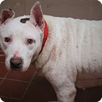 Adopt A Pet :: Domino - Daytona Beach, FL