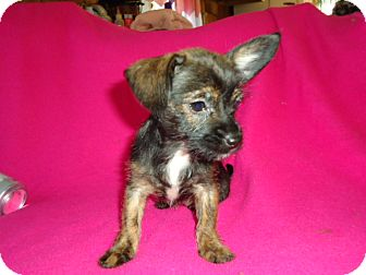Terrier (Unknown Type, Small)/Chihuahua Mix Puppy for adoption in Plainfield, Connecticut - Tiny
