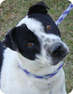 Australian Cattle Dog/Border Collie Mix Dog for adoption in Red Bluff, California - Topper
