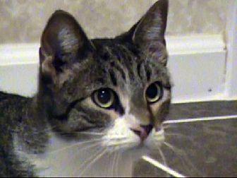 Domestic Shorthair Cat for adoption in Tyler, Texas - TG-Erika