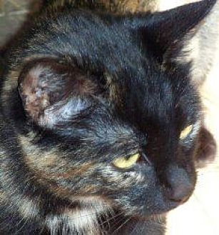 Calico Cat for adoption in Salisbury, North Carolina - Callie