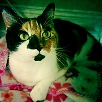 Calico Cat for adoption in Chattanooga, Tennessee - Funny Face