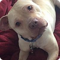 Adopt A Pet :: HITCH - Snellville, GA