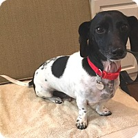 Adopt A Pet :: Polo - Atlanta, GA