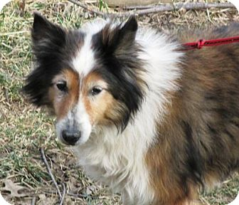 Sheltie, Shetland Sheepdog Dog for adoption in Mission, Kansas - Layla