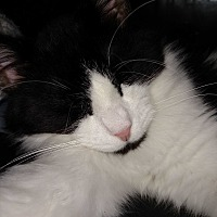 Domestic Longhair Cat for adoption in Covington, Pennsylvania - Cowboy