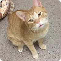 Domestic Shorthair Cat for adoption in Willmar, Minnesota - Tyson