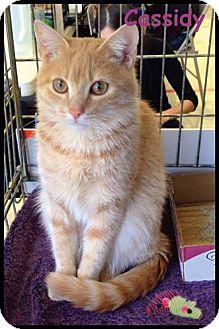 Domestic Shorthair Kitten for adoption in Merrifield, Virginia - Cassidy