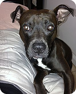 American Staffordshire Terrier/Pit Bull Terrier Mix Dog for adoption in Bellflower, California - URGENT - Roc!