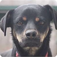 Adopt A Pet :: Sampson - Albany, NY