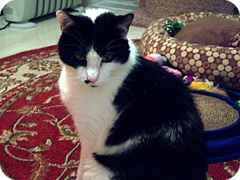 Domestic Shorthair Cat for adoption in Lombard, Illinois - Milo