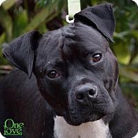 Pit Bull Terrier Mix Dog for adoption in Savannah, Georgia - Maxwell