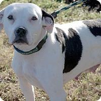 Adopt A Pet :: Poppy - Gainesville, FL