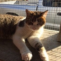 Domestic Shorthair Cat for adoption in Thibodaux, Louisiana - Sophia  F2-9162