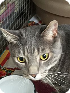 Domestic Shorthair Cat for adoption in Trevose, Pennsylvania - Happy