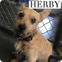 Adopt A Pet :: Herby - San Antonio, TX