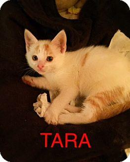 Domestic Shorthair Kitten for adoption in Brooklyn, New York - Tara