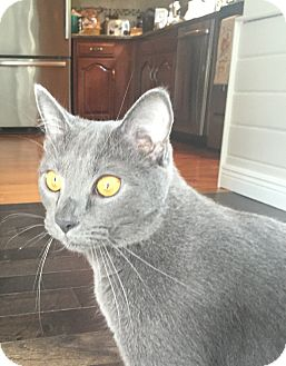 Domestic Shorthair Cat for adoption in Worcester, Massachusetts - Charlie