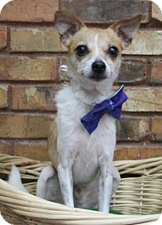 Chihuahua Mix Dog for adoption in Benbrook, Texas - Lucky