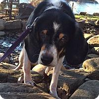 Adopt A Pet :: Darla:LOVES belly rubs (SC) - Seymour, CT