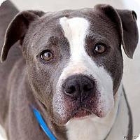 Adopt A Pet :: Popeye - Memphis, TN
