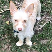 Adopt A Pet :: A - MICKEY - Seattle, WA