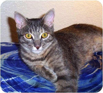 Domestic Shorthair Cat for adoption in Nolensville, Tennessee - Charissa
