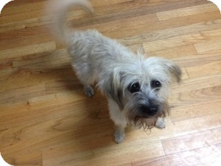Maltese/Terrier (Unknown Type, Small) Mix Dog for adoption in Greensboro, Georgia - Fluffy