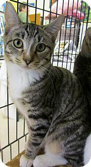 Domestic Shorthair Kitten for adoption in Seminole, Florida - Bash