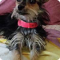 Adopt A Pet :: Phaedra - TINY little cutie! - Phoenix, AZ