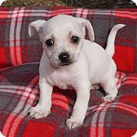 Adopt A Pet :: Flurry - La Habra Heights, CA