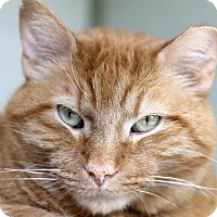 Adopt A Pet :: Woodrow Whiskers - Chicago, IL